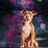 American Pit Bull Terrier/Hound (Unknown Type) Mix Dog for adoption in Conroe, Texas - Kane