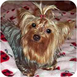 Yorkie, Yorkshire Terrier Dog for adoption in Tallahassee, Florida - Cricket