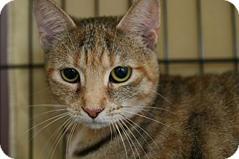 Domestic Shorthair Cat for adoption in Frederick, Maryland - Tilly