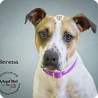 Adopt A Pet :: Serena - Phoenix, AZ