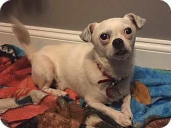 Chihuahua Mix Dog for adoption in Hayes, Virginia - Poppy