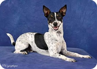 Terrier (Unknown Type, Medium) Mix Dog for adoption in Henderson, Nevada - Rocco
