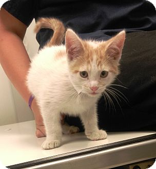 Domestic Shorthair Kitten for adoption in University Park, Illinois - Alvin