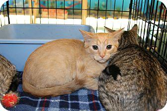 Domestic Shorthair Kitten for adoption in Rochester, Minnesota - Ginger