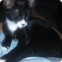 Adopt A Pet :: Oreo - Seminole, FL