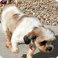 Adopt A Pet :: Chong - Holliston, MA