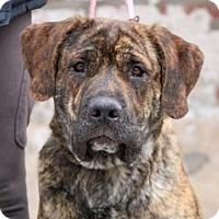Adopt A Pet :: Rambo - Brooklyn, NY