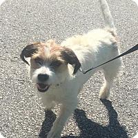 Adopt A Pet :: Fraiser  Shaggy little boy! Cat-Friendly! - Rowayton, CT
