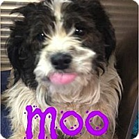 Adopt A Pet :: Moo (Courtesy Listing) - Scottsdale, AZ
