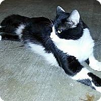 Adopt A Pet :: Pirate - Denton, TX