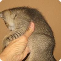 Adopt A Pet :: Rainy - Dallas, TX