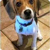 Adopt A Pet :: Sophie - Brewster, NY