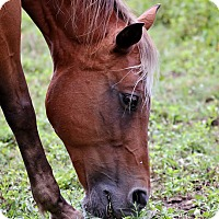 Quarterhorse/Pony - Other Mix for adoption in Saugerties, New York - Coco