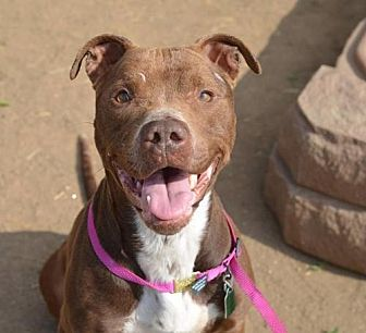 American Staffordshire Terrier Mix Dog for adoption in Manhattan, New York - Lucy