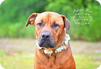Labrador Retriever/Hound (Unknown Type) Mix Dog for adoption in Fort Valley, Georgia - Rolla