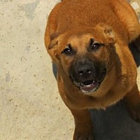 German Shepherd Dog/Labrador Retriever Mix Dog for adoption in Forreston, Texas - Layla