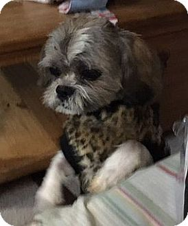 Shih Tzu Dog for adoption in Mississauga, Ontario - Chico