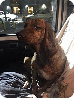 Hound (Unknown Type) Mix Dog for adoption in Cincinnati, Ohio - Jasper Lee