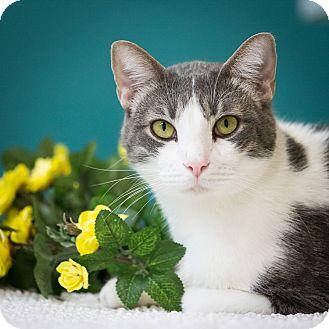 Domestic Shorthair Cat for adoption in Houston, Texas - Alpheus