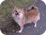 Pomeranian/Spitz (Unknown Type, Small) Mix Dog for adoption in Beacon, New York - Duncan