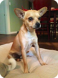 Pug/Chihuahua Mix Dog for adoption in Austin, Texas - Lester