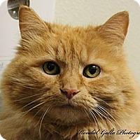 Domestic Longhair Cat for adoption in Saranac Lake, New York - Julie