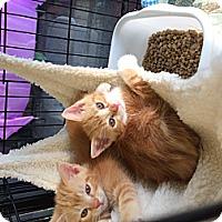 Adopt A Pet :: Kitten's Kitten's - Clay, NY