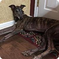 Adopt A Pet :: Braska Gatsby - Knoxville, TN