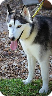 Husky Dog for adoption in Ft. Lauderdale, Florida - Mandy