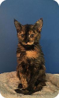 Domestic Shorthair Kitten for adoption in Mount Pleasant, South Carolina - Samantha