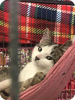 Domestic Shorthair Kitten for adoption in Rochester, Minnesota - Dodger