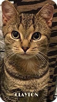 Domestic Shorthair Kitten for adoption in Great Neck, New York - Clayton