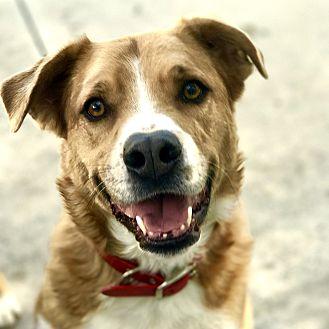 Australian Shepherd/Boxer Mix Dog for adoption in Santa Clarita, California - RED
