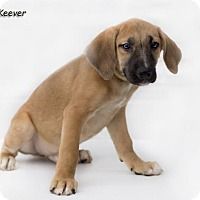 German Shepherd Dog/Beagle Mix Puppy for adoption in Shamokin, Pennsylvania - Keever