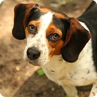 Adopt A Pet :: Bo the Beagle - Lafayette, IN