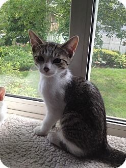 Domestic Shorthair Kitten for adoption in Island Park, New York - Manning