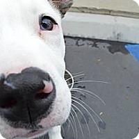 Adopt A Pet :: Bella - La Habra, CA