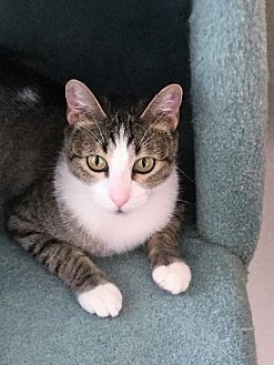 Domestic Shorthair Cat for adoption in Mission Viejo, California - Sweet Pea