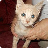 Adopt A Pet :: Lily - Reston, VA