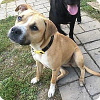 Boxer/Staffordshire Bull Terrier Mix Dog for adoption in Maryville, Tennessee - Marilyn