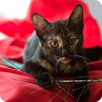 American Shorthair Kitten for adoption in Avon, New York - Jasmine