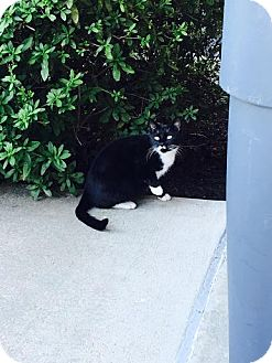 Domestic Shorthair Cat for adoption in Waldorf, Maryland - Mustache