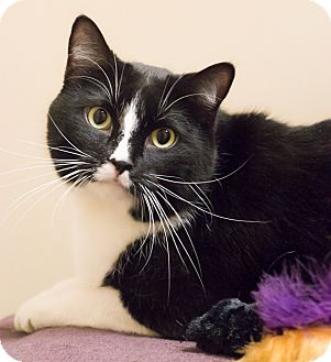 Domestic Shorthair Cat for adoption in Chicago, Illinois - Lewis