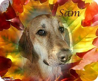 Golden Retriever/Labrador Retriever Mix Dog for adoption in Crowley, Louisiana - Sam