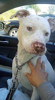 Pit Bull Terrier Dog for adoption in Gibbstown, New Jersey - Poppy