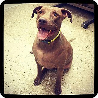 Labrador Retriever Mix Dog for adoption in Grand Bay, Alabama - Boaz