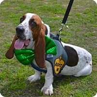 Basset Hound Dog for adoption in Houston, Texas - Klyde