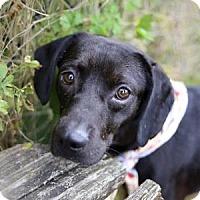 Adopt A Pet :: Bo - Lakeland, FL