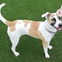 Adopt A Pet :: Scarlett - Loxahatchee, FL