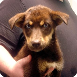 Collie/Husky Mix Puppy for adoption in Greencastle, North Carolina - Disney